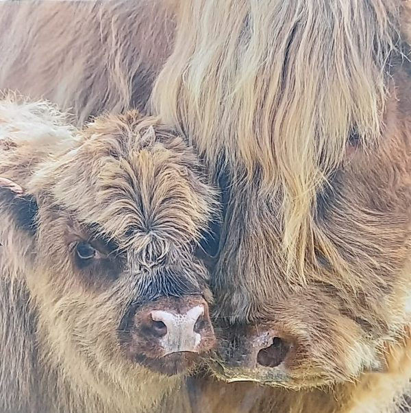 Highland cow and calf nuzzling
